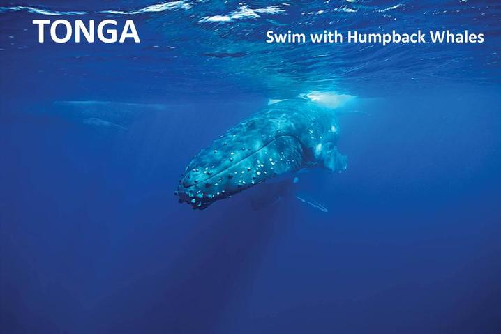 NEWS!  Divequest is now offering whale swimming and diving in Tonga! (Image by Inger Vandyke)